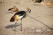 Ugandan bird ( can't remember the name )
