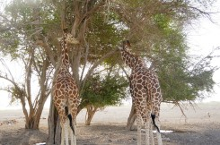 Giraffes scratching their necks on the tree, he he