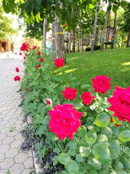 Roses in summer